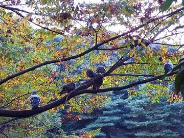 081029pigeon-wood1.jpg