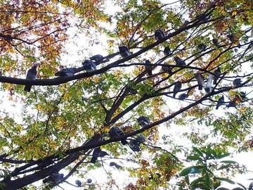 081029pigeon-wood2.jpg