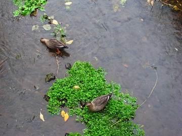 081124wild-duck.jpg