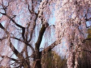 090330shidare-sakura1.jpg