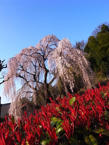 090330shidare-sakura2.jpg