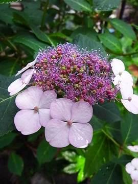 090524amacha-flower.jpg