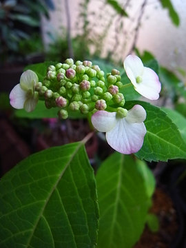 090526amacha-flower.jpg