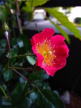 090526pinl-wild-rose.jpg