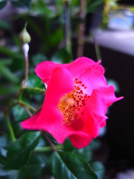 090527pinl-wild-rose.jpg