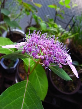 090607amacha-flower.jpg