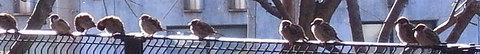 100127sparrows.jpg