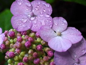 100622amacha-flower.jpg