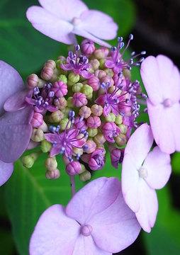 100623amacha-flower.jpg