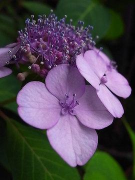 100626amacha-flower.jpg