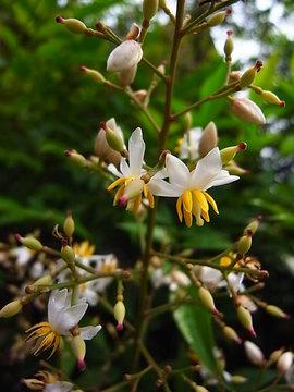 100711nandina-flower.jpg