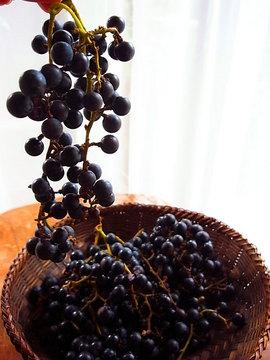 101017crimson-glory-vine1.jpg