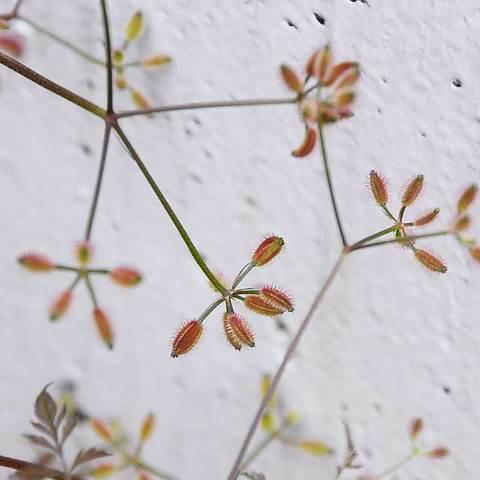 120527rough-hedge-parsley2.jpg