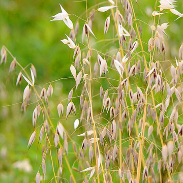 120603common-wild-oat.jpg
