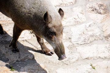 130818wild-boar1.jpg