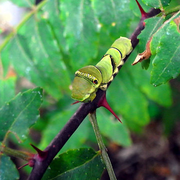 130923green-caterpillar.jpg