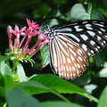 (リュウキュウ)アサギマダラ@多摩動物公園昆虫館