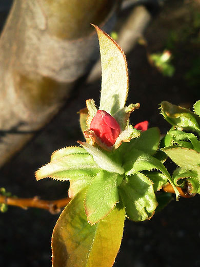 140329chinese-quince.jpg