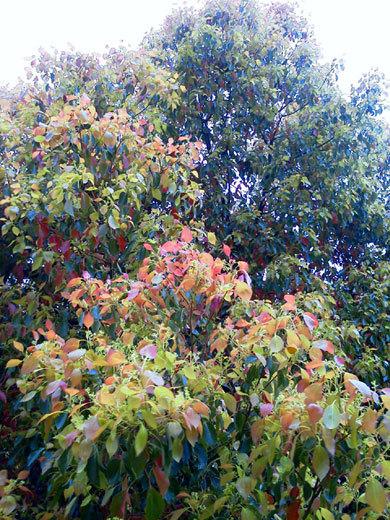 140421camphor-tree1.jpg