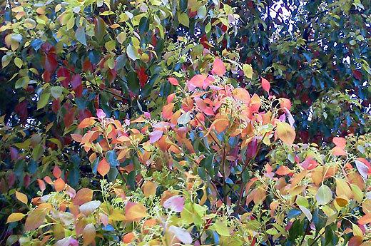 140421camphor-tree3.jpg