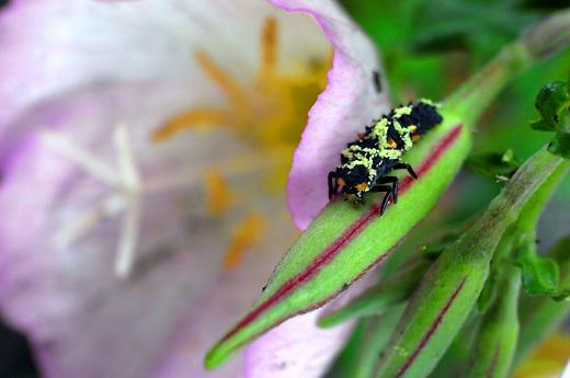 140421ladybug-larva.jpg