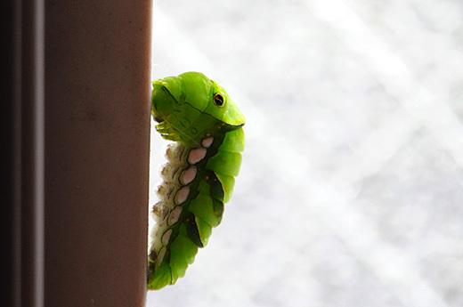 140608asian-swallowtail1.jpg