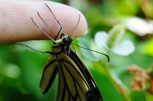 140620asian-swallowtail01.jpg