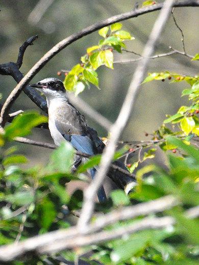 オナガ幼鳥(2014年10月8日・長野県安曇野市)