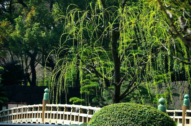 150322weeping-willow.jpg