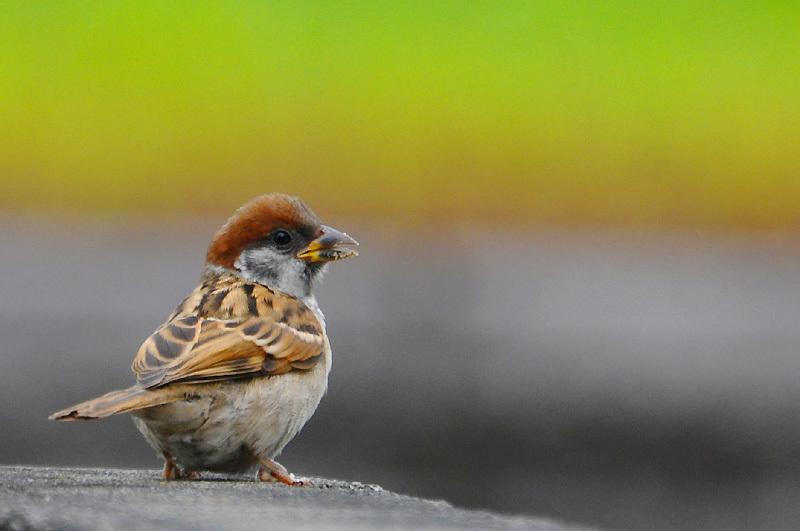 150708sparrow1.jpg