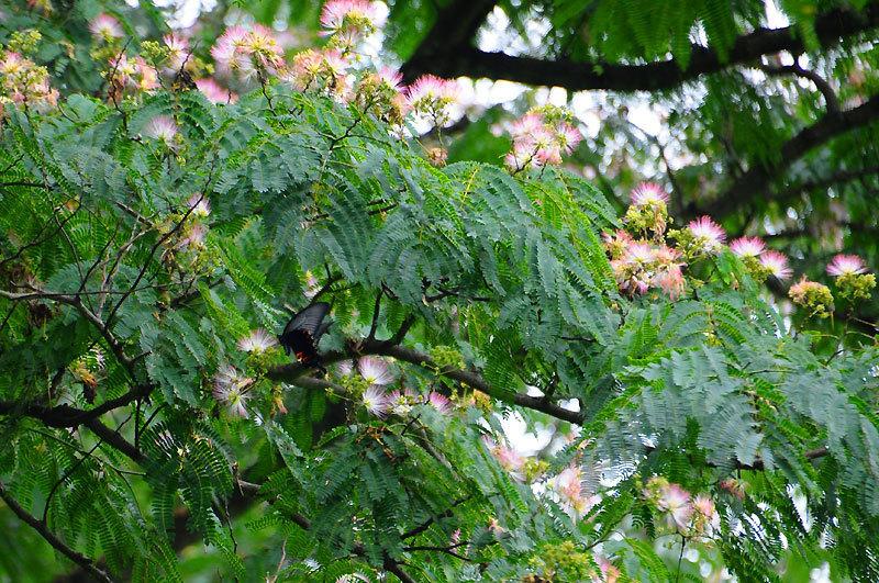 150708swallowtail.jpg